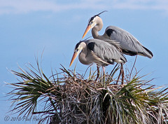 Great Blue Herons (Ardea herodias) (Paul Hueber) Tags: bird nature canon nest wildlife aves handheld 75300 greatblueheron centralflorida ardeaherodias featheryfriday brevardcounty
