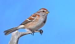 American Tree Sparrow (mbaglole) Tags: cambridge ontario tree bird creek nikon riverside birding sb600 300mm american sparrow nikkor f4 americantreesparrow cambridgeontario tc14 nikon300mm nikonflash sb600flash 14xteleconverter nikon300mmf4 nikonsb600flash nikonteleconverter nikon14xteleconverter riversidecreek
