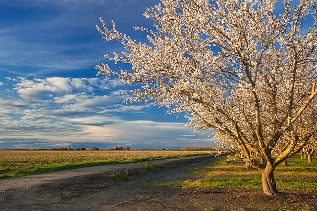 Almond Orchard at Sunset