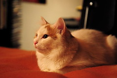 Lizzy posing (margaretha_hopfner - 700.000+views) Tags: cats pets ginger nikon katzen lizzy haustiere