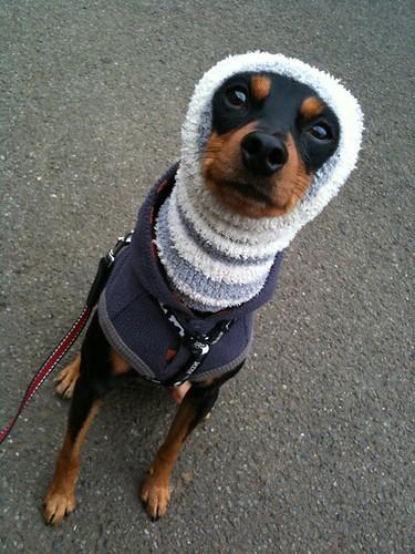 出かける前に散歩なう。ほっかむりもそろそろ見納め?