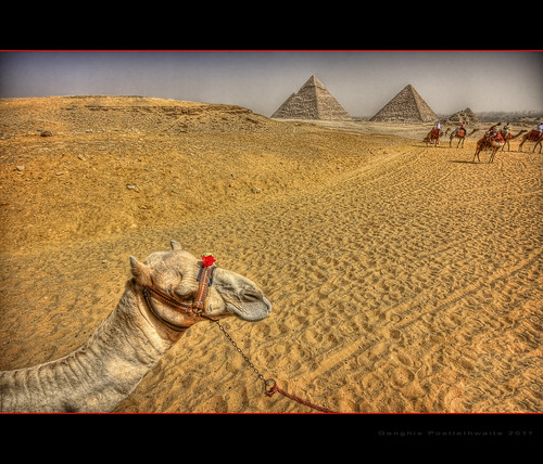 Camels and pyramids at Giza
