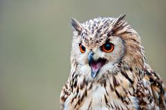 Fauconnerie des Templiers (Guillaume Tassart) Tags: bird nature belgium belgique explore owl oiseau chouette hiboux faucon fauconnerie thewildlife rosires theunforgettablepictures