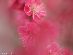 Joy of early spring (©Marie Eve K.A.❦ (away..)) Tags: red blur flower macro nature japan closeup rouge spring kyoto dof bokeh f14 85mm olympus february printemps planar earlyspring ep2 plumblossoms carlzeiss redplum masterphotos kitanotenmangūshrine