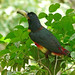 Collard Aracari (Christine George)