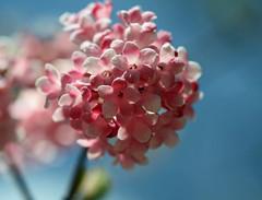 Welcome spring! (vil.sandi) Tags: macro münchen spring blossom rosa 1001nights frühling blüten flickraward 1001nightsmagiccity flickrawardgallery persephonesgarden