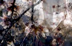 golden time (M. Clover) Tags: textura textures geisha cerezos mclover