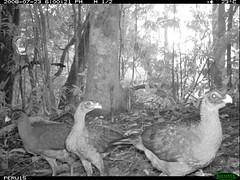 Nocturnal Currasow (siwild) Tags: largebirds nothocraxurumutum file:name=img0037jpg siwild:study=peruocelotsurvey siwild:studyId=arabelasets siwild:plot=arabela geo:locality=northernperu taxonomy:group=largebirds sequence:index=37 siwild:location=perulocg siwild:camDeploy=perudeploy13 sequence:length=110 sequence:key=55 siwild:region=peru siwild:date=200807231800200 siwild:imageid=5348 file:path=epuntog723822peru15img0037jpg BR:QCID=5493750002 BR:batch=sla1220110304041736 nocturnalcurrasow taxonomy:species=nothocraxurumutum taxonomy:common=nocturnalcurrasow siwild:trigger=perubirdstaff1777 sequence:id=perubirdstaff1777 siwild:species=322