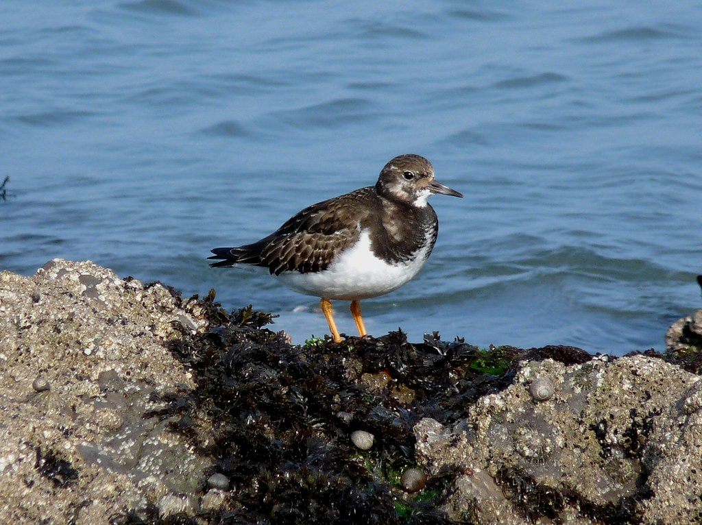 23947 - Turnstone, Worms Head, Rhossili, Gower