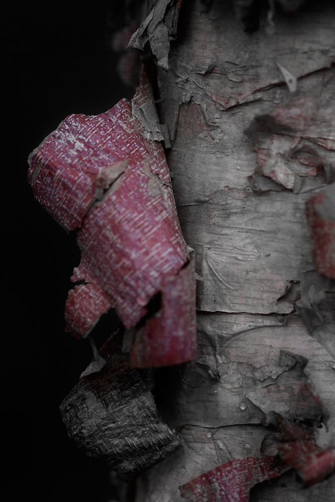 Color 5/31:  Birch Bark