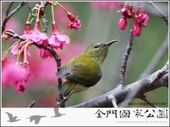 叉尾太陽鳥-03.jpg