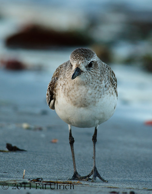 Black-bellied plover - Pat Ulrich Wildlife Photography