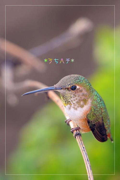 Allen's Hummingbird 031011