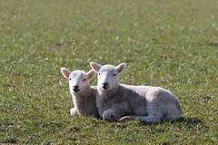 2 Lambs (JohnMcGb) Tags: lambs bowland ef70200mmf4lisusm