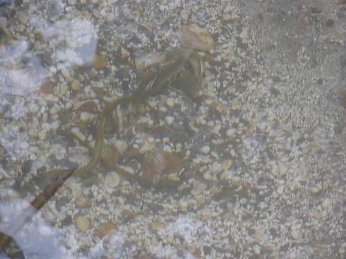 Lampreys! Lampetra planeri nesting (video1).