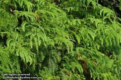 Dicranopteris linearis (puffinbytes) Tags: plants malaysia penang ferns plantae pteridophyta pulaupinang leptosporangiateferns penangnationalpark dicranopteris dicranopterislinearis gleicheniaceae pteridopsida taxonomy:kingdom=plantae taxonomy:species=linearis taxonomy:binomial=dicranopterislinearis taxonomy:phylum=pteridophyta taxonomy:class=pteridopsida gleicheniales taxonomy:family=gleicheniaceae taxonomy:genus=dicranopteris taxonomy:order=gleicheniales spb:pty=w spb:country=my spb:lid=00b8 forkedferns spb:id=029u spb:species=dicranopterislinearis spb:pid=0gfj