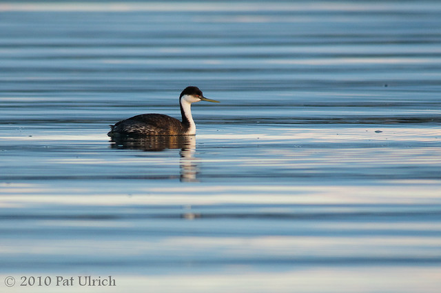 Western Grebe on Rippled Water -- Pat Ulrich Wildlife Photography