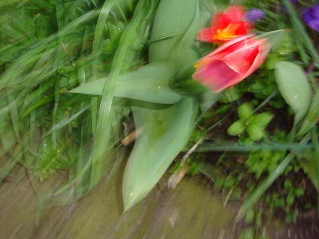 Tulipe comme painture