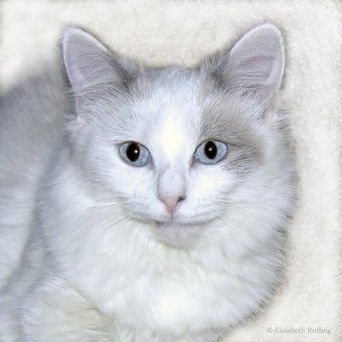 Frosty the white kitten