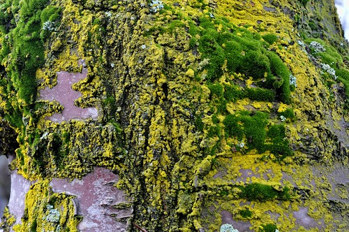 cherry tree bark. Cherry tree bark. with moss and lichen, Pioneer Square, near Quadra Street, Victoria BC