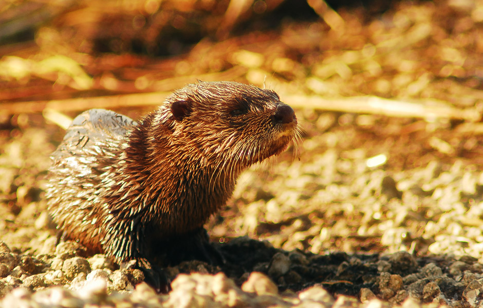 Otter Youngster
