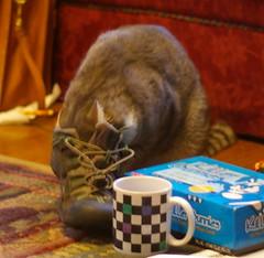 Cat versus shoe