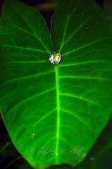 Dew Drop Pearl (Sandeep K Bhat) Tags: water leaf nikon large drop dewdrop sphere dew pearl veins d90 muttu colacasia