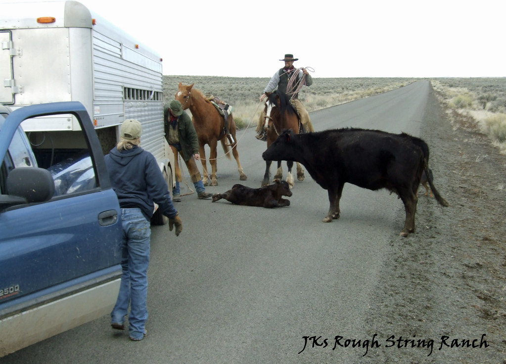 4/4 Tired Calves Get a Trailer Ride