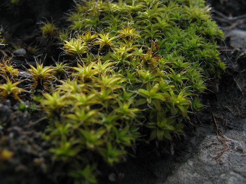 Moss in bloom