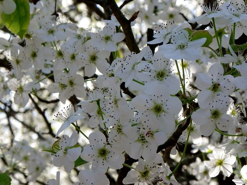 flowering pear blossoms