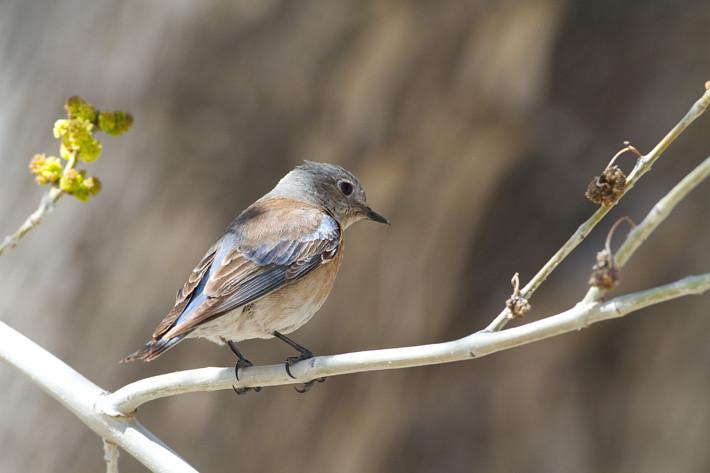 031611_actonPerch08_westernBluebird