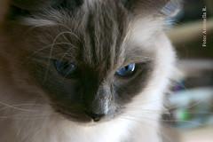 Randy  (Antonella Ravasi) Tags: cats cat randy ragdolls gatto gatti ragdoll randall antonella 2011
