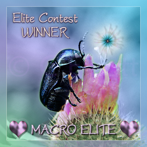 "MACRO Elite Contest WINNER Award by christabel's artworks, on Flickr"" © Chris Elliott and natalija2006."
