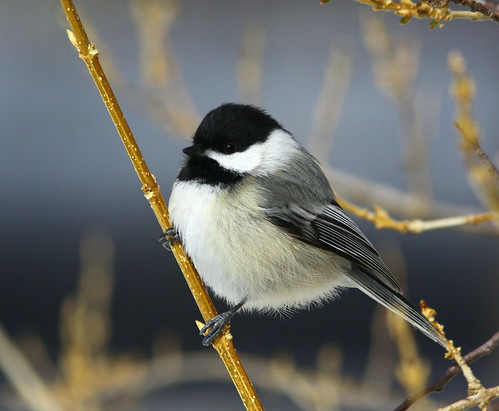 Chickadee puffball
