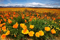California Gold Strike (DM Weber) Tags: california flowers snow clouds landscape gold golden poppies wildflowers antelopevalley goldfields eos5dmkii psa148 dmweber