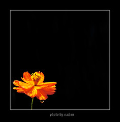 alone...! #3 [explored] (e.nhan) Tags: flowers light black flower art nature yellow closeup landscape colorful colours dof bokeh arts cosmos backlighting enhan