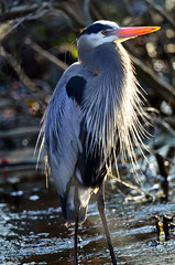 Great Blue Heron (Brian E Kushner) Tags: blue bird heron nature water animals de ed nikon wildlife brian great birding landing national e bombay delaware hook nikkor f4 whitehall smyrna greatblueheron vr afs refuge ardeaherodias f4g 600mm nikor bombayhooknationalwildliferefuge afsnikkor600mmf4gedvr d7000 vrafs bkushner brianekushner whitehallcrossroads nikond7000 kushnernikon nikon600mmf4afsvr bombaynwr d7000naturebkushnerwildlifeanimals whitehalllandingde nwrsmyrnadedelawarebirdingbirdnikond7000nikon