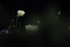 White Lotus (kth517) Tags: australia melbourne victoria yarrajunction   whitelotus  bluelotuswatergarden
