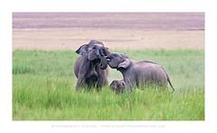 Elephas maximus - 02-04 (LookingThroughTheGlass) Tags: elephant evening ganesha feeding mother parent care calf asianelephant elephasmaximus corbet indianelephant elephas