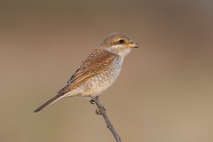 Red-backed shrike (Lanius collurio) (icemelter4) Tags: redbacked shrike lanius collurio