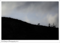Ram Silhouette (Paul Simpson Photography) Tags: sheep ram animal lakedistrict cumbria paulsimpsonphotography photoof photosof imageof imagesof silhouette nature mountain hillside arty stylishphotography