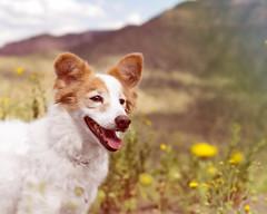 Nadja (utski7) Tags: pet dog bestfriend sunshine outdoor fall arizona flowers saltrivercanyon saltriver canyon portrait gradient layer