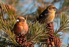 Colorful Couple (martytdx) Tags: male birds female birding january nj immature longbranch sevenpresidentspark coldashell whitewingedcrossbill loxialeucoptera loxia crossbills fingillidae