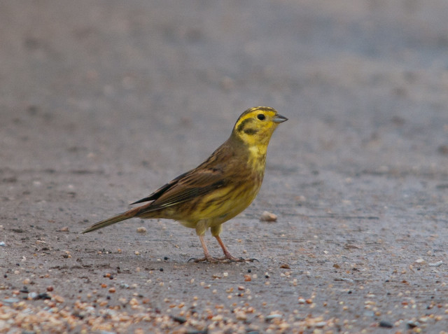 yellowhammer male 4