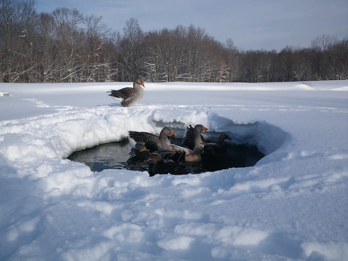 The ducks and geese at the snowy pond