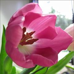 Dark pink tulip
