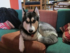 Bane Lounging (Fan-T) Tags: dog me crazy husky wolf couch human lounging siberian bane bugging