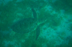 Green Sea Turtle (sjdavies1969) Tags: animals stjohn turtles animalia cheloniamydas reptiles seaturtles usvirginislands greenseaturtle vertebrates testudines cheloniidae