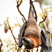 Fruit Bat Up-Close