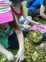 Harvesting Bunya Nuts
